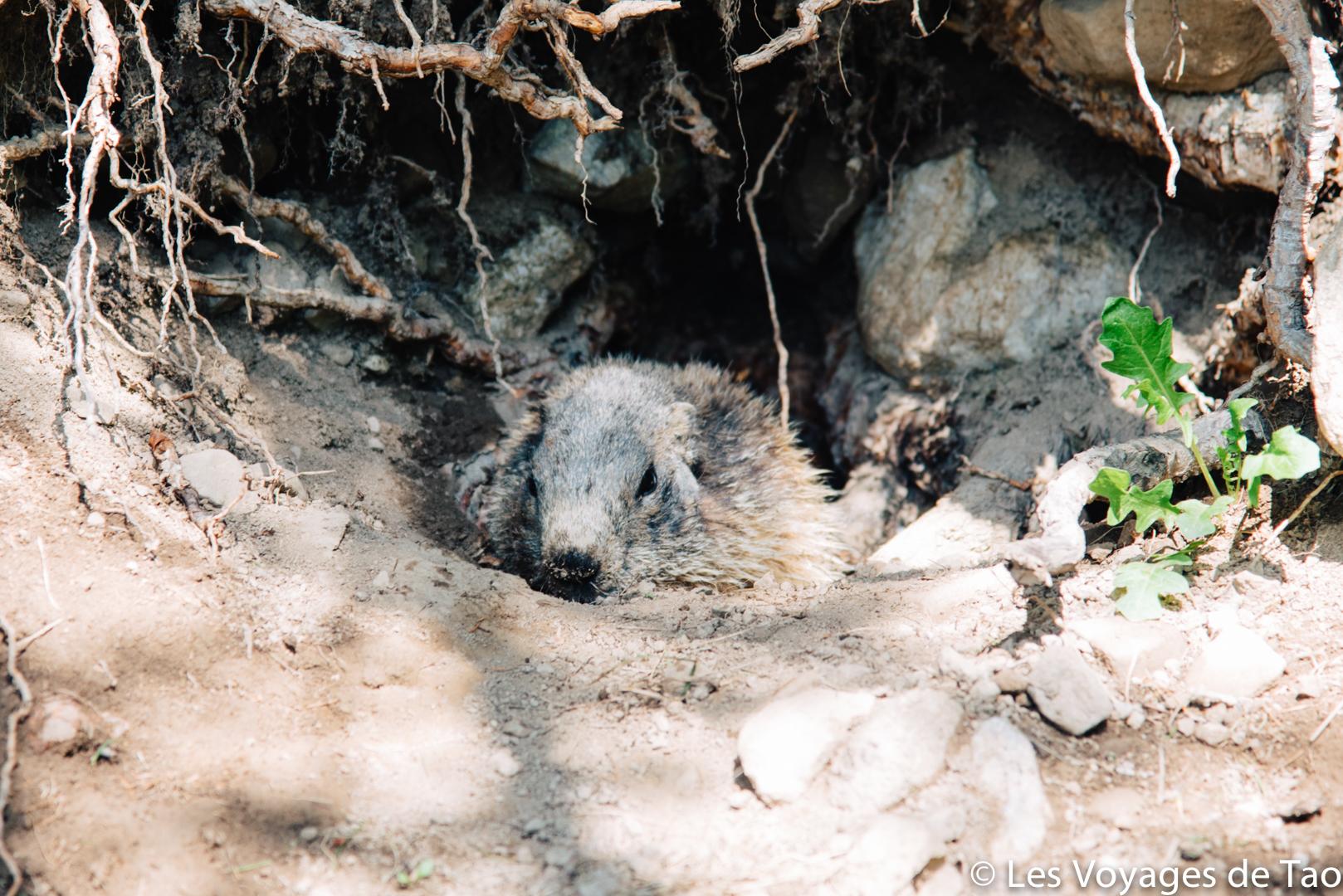 Marmottes lac d'allos